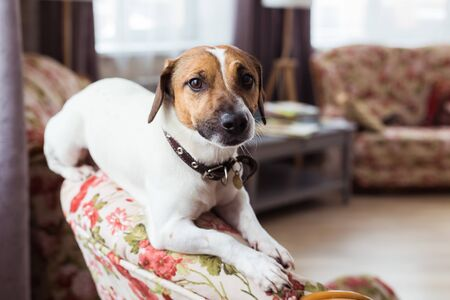 Jack Russell Terrier lying at home. Pet and household concept. Фото со стока