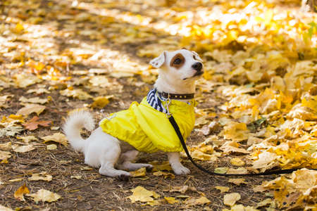 Amazing jack russell terrier in leaves in autumn. Pet and dog concept.