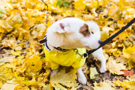 Amazing jack russell terrier in leaves in autumn. Pet and dog concept. 版權商用圖片 - 155264426