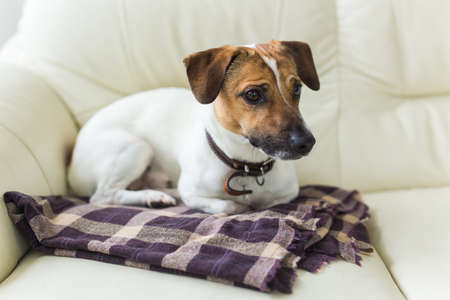 Close up jack russell terrier dog sleepy muzzle portrait on the plaid