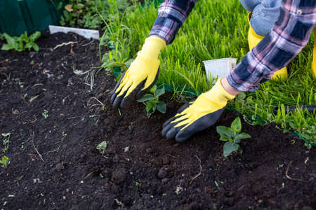 Hand of woman gardener in gloves holds seedling of small apple tree in her hands preparing to plant it in the ground. Tree planting concept
