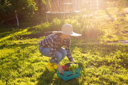 Hardworking young woman gardener in straw hat picks up her harvest box of tomatoes on sunny summer day. Concept of organic farming and vegetable growing 版權商用圖片