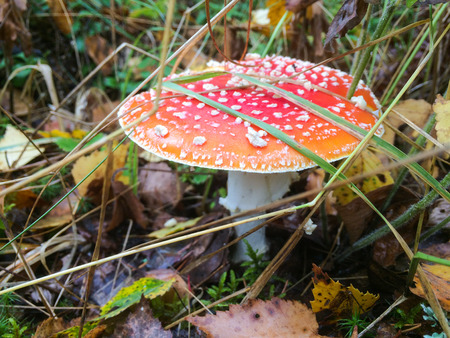 Red mushroom  toadstool in the forest