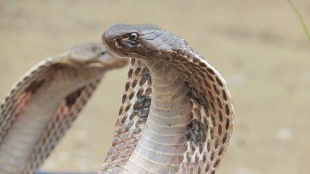 king cobra: king cobra Stock Photo