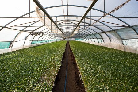 irrigate: Young plants growing in a very large plant nursery, greenhouse.