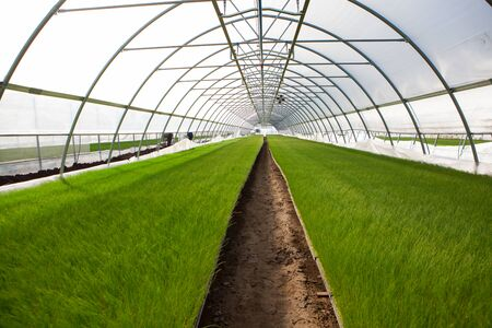 market gardener: Young plants growing in a very large plant nursery .