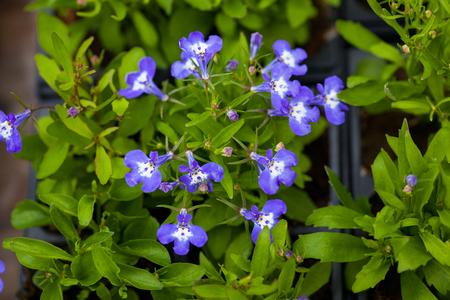 lobelia: Many blue flowers as a background lobelia.