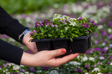 holding close: seedling holding Close up of pretty pink, white and purple Alyssum flowers, of the Cruciferae annual flowering plant