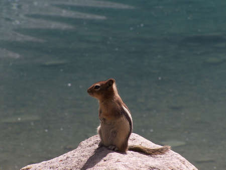 Squirrel in Moraine Lake Stock Photo - 677106