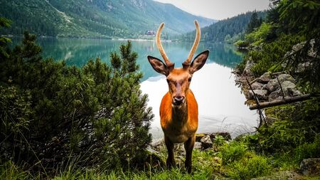 Young Deer Stag Walking Near Lake in The Mountains. Face to Face Stock Photo