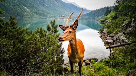 Fearless Young Deer Stag Walking Near Lake in The Mountains. Face to Face