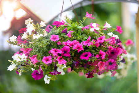 hanging flowers pot containing on the roof pink and white petunias