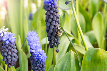 Bumble Bee Getting Nectar from Lupin Flower Stock Photo