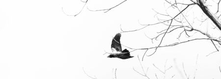 gloom: Crow Flies Through The Branches. Silhouette on a White Background. Panoramic Image for Skinali Stock Photo