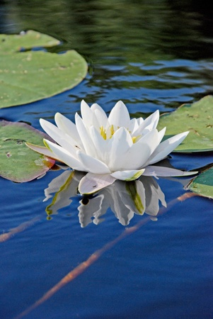 white water lilly surrounded with some leaves