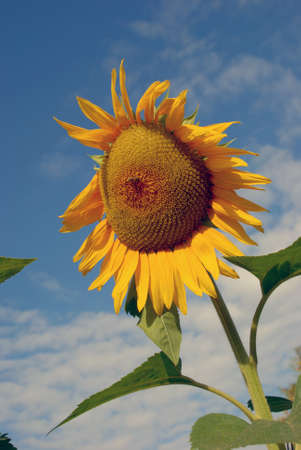 ripe sunflower in backround of cloudy blue sky Stock Photo