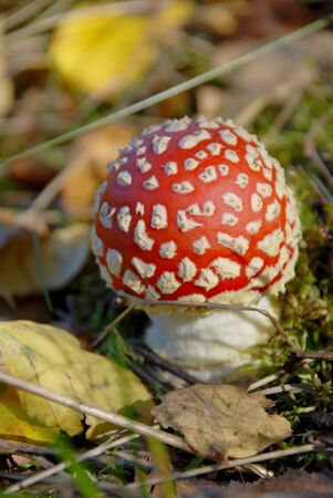 uneatable: little red fly agaric surrounded by leaves and moss