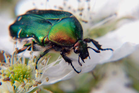 rose chafer on the bloom of white flower photo