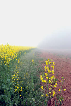 Summer in the countryside in Lithuania rapse field hidden in fog photo