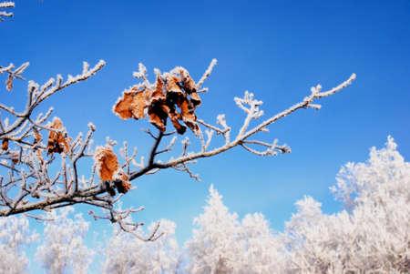 bunchy: invierno rama de roble cubierto por rime con algunas hojas izquierdo