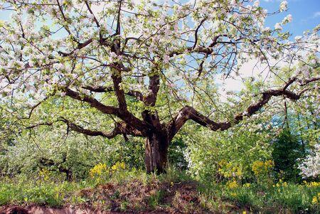 Flowering trees in garden are always eye-catching view in spring Zdjęcie Seryjne