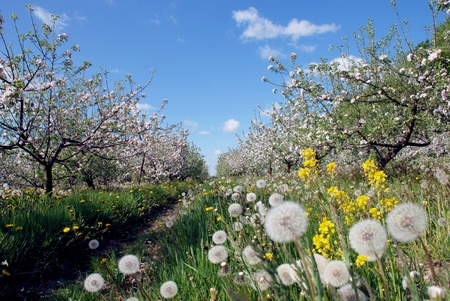 Spring garden at the peak of apple tree blow Stock Photo