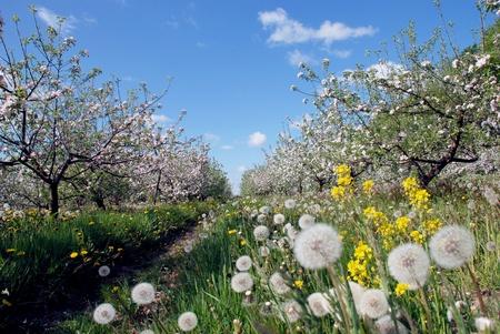 Spring garden at the peak of apple tree blow Zdjęcie Seryjne