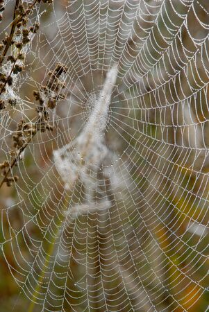 muddle: Autumn dew on the web - a frequent guest