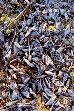 Abundance of fallen autumn leaves covered by white frost