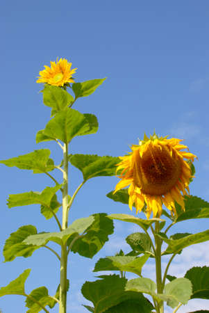 come in: Sunflowers have always come in different sizes