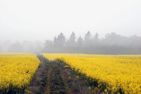 Midsummer morning mist over the fields of yellow flowering Stock Photo