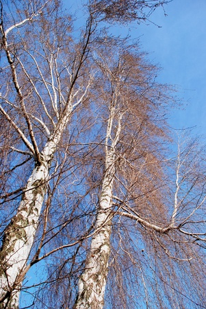 Two birches without leaves in late autumn photo