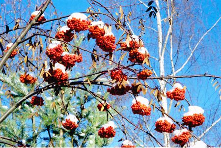 Red rowan bunches with snow on them in the background of blue sky.