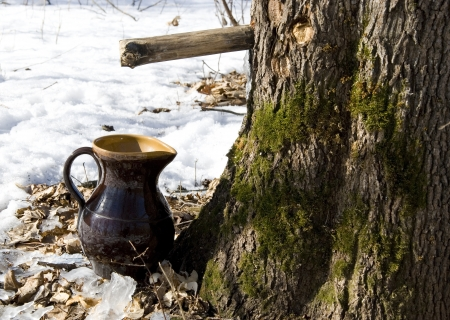 Maple sap is flowing into the pitcher surrounded by still undissolved snow