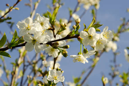 Spring cherry flowers and twigs against the blue sky. Stock Photo