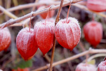 husk tomato: The first snow fall on the red husk tomato fruits Stock Photo