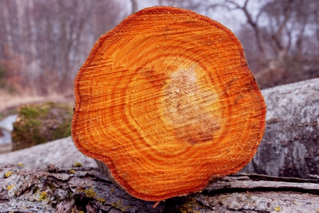 Log cut wooden background texture. Colorful cross section of cut tree.
