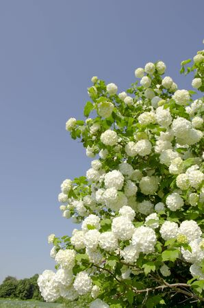 viburnum: Snowball. Viburnum. Amazing blooms on the bush. Stock Photo