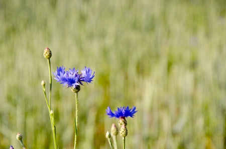 subdued: Blue cornflower on a background of subdued background.