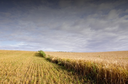 Field of cut wheat and ripped rye. Agricultural view with cloudy sky. photo