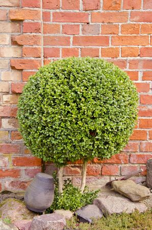 Decorative green tree with small round leaves growing near red brick wall. Stock Photo