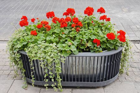 Red flowers growing in modernistic pot in center of town. Stock Photo