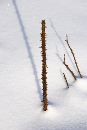 Thorny rose stem upstanding from snow in sunny winter day. photo