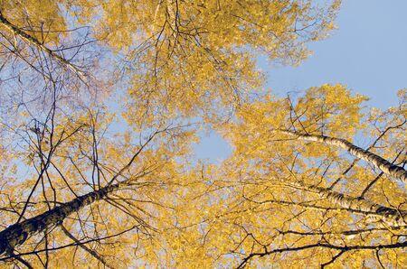 Yellow birch leaf tip. Natural autumn centerpiece.  photo