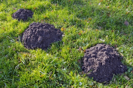 Moles dig mole-hills in meadow. Parasitic animals digging ground. Stock Photo