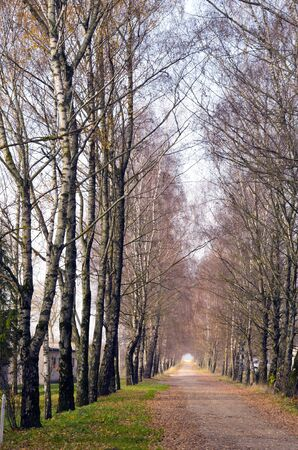 Birch tree alley and small gravel road betweem them. Natural rural background.