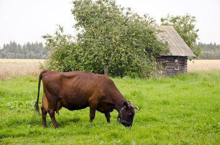 Brown cow graze in meadow near abandoned wooden building. Apple tree with lots of the apple. photo