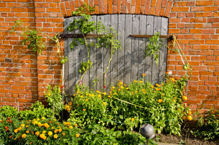 Abandoned building wall and wooden doors, tomato and flowers growing. Garden details.   photo
