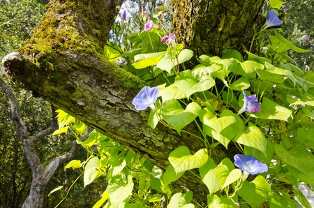 Blooming clematis flower creeper growing on an old apple tree trunk.  Stock Photo - 11949698
