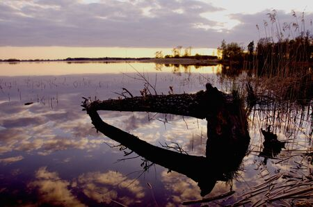 Beaver chew tree fallen in water. Evening lake landscape sky reflections.  Stock Photo